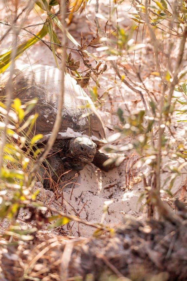 Polyphemus de Gopherus de tortue de Gopher images libres de droits