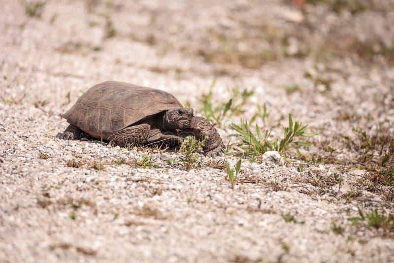 Polyphemus de Gopherus de tortue de Gopher de la Floride photographie stock libre de droits