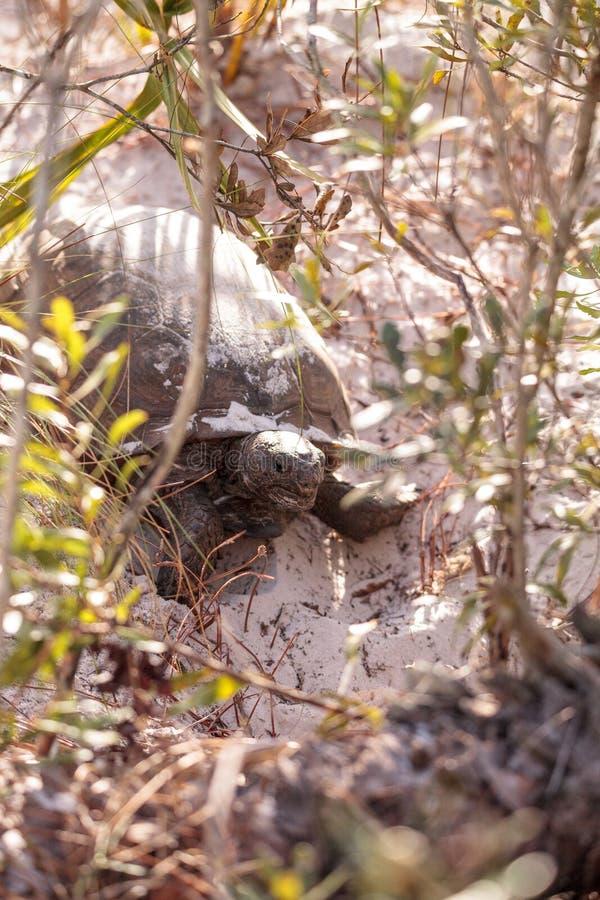 Polyphemus del Gopherus de la tortuga de Gopher fotografía de archivo libre de regalías