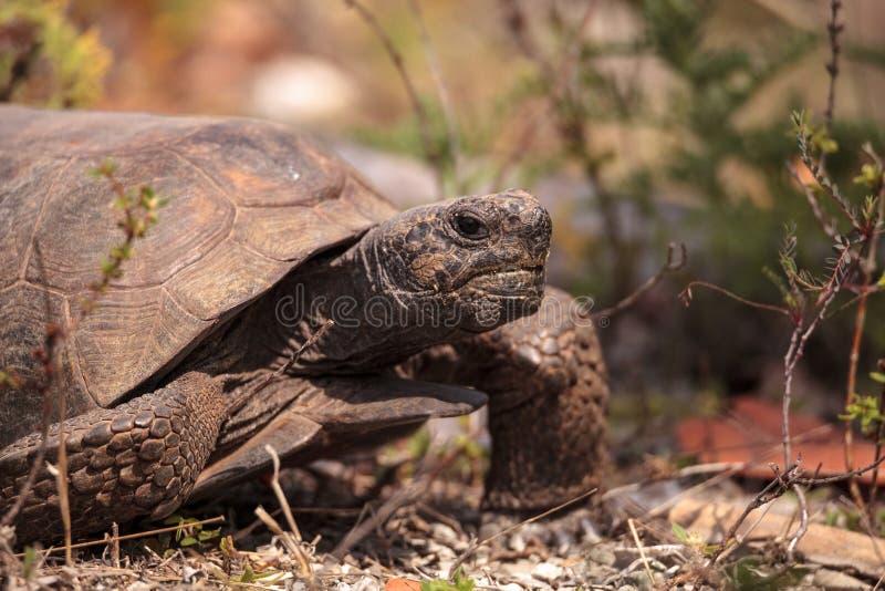 Polyphemus del Gopherus de la tortuga de Gopher de la Florida foto de archivo libre de regalías