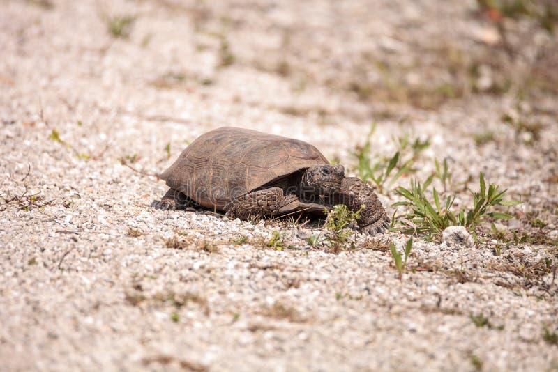 Polyphemus del Gopherus de la tortuga de Gopher de la Florida fotografía de archivo libre de regalías