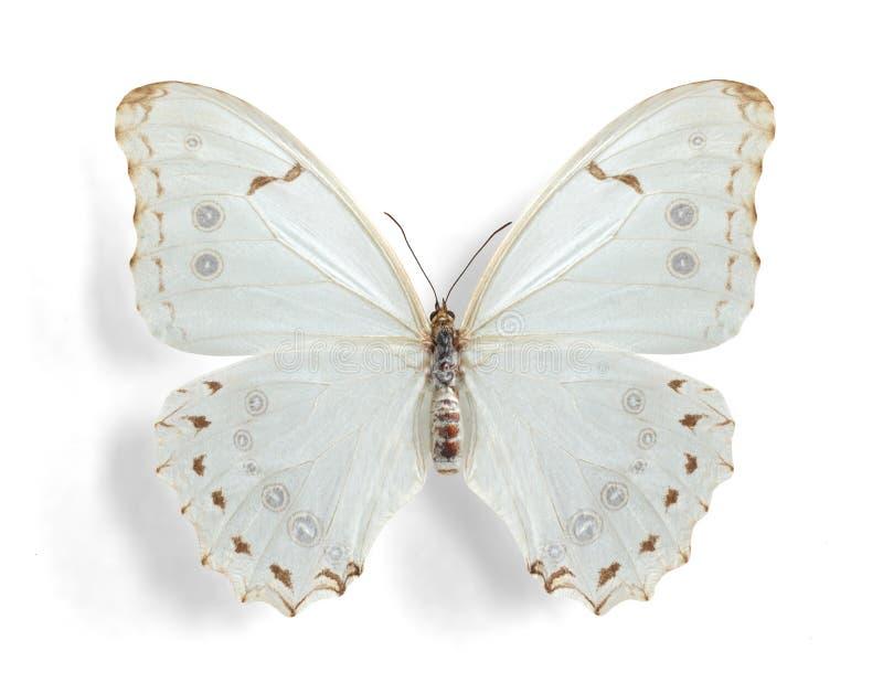 Polyphemus di Morpho, Morpho bianco (femmina) fotografia stock