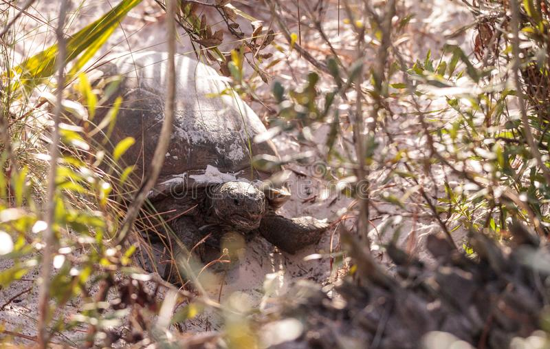 Polyphemus för Gopherus för goffersköldpadda arkivfoton