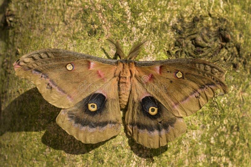 Polyphemus mal - Antheraeapolyphemus royaltyfri fotografi