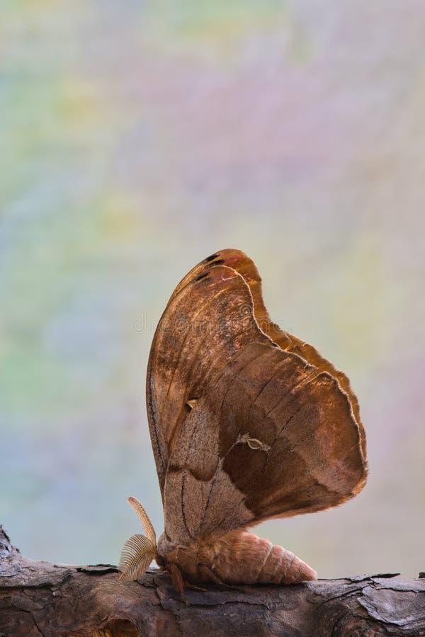 Polyphemus mal på en trädfilial royaltyfria foton