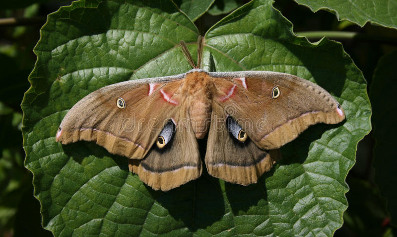 Polyphemus Moth royalty free stock photography