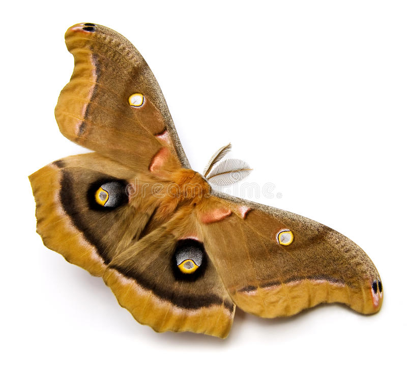 Free Polyphemus Moth Royalty Free Stock Photography - 14374527