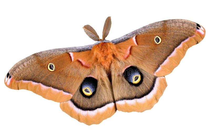 Polyphemus Motte auf Weiß lizenzfreie stockfotografie