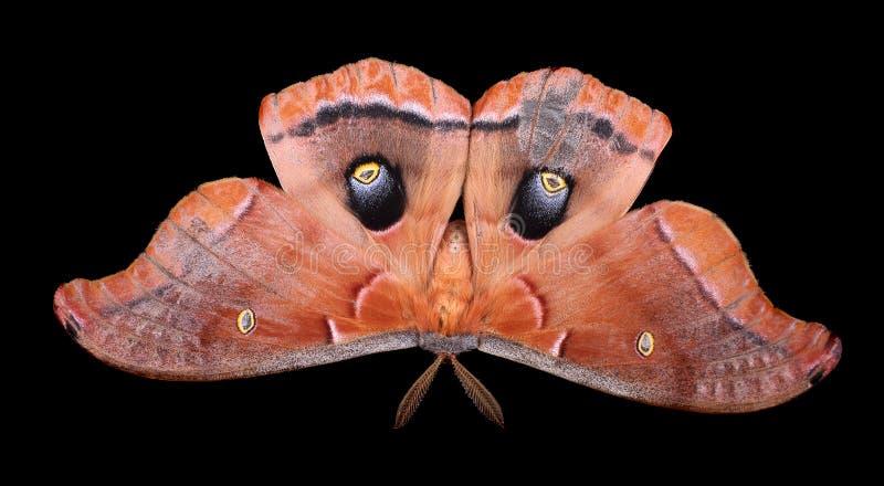 Polyphemus-Motte lokalisiert stockbild