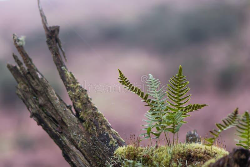 Polypody Polypodium vulgare en mos op tak royalty-vrije stock afbeeldingen