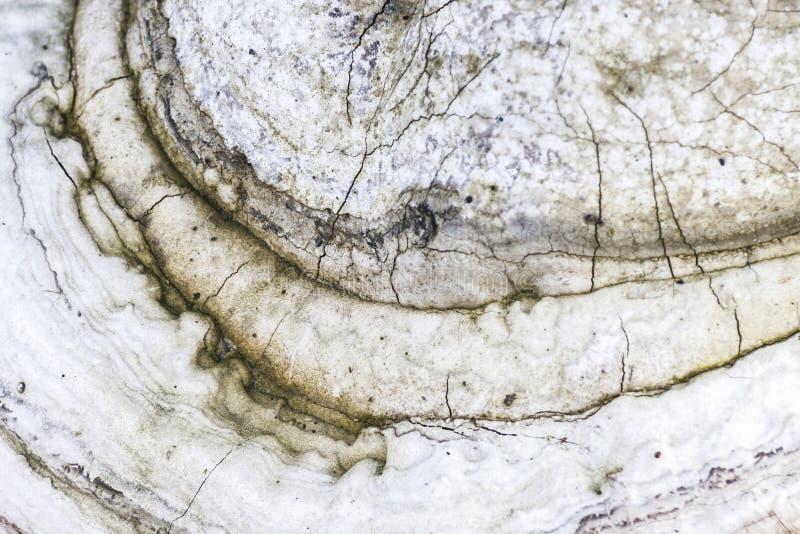 Polypore champinjondetalj arkivbilder