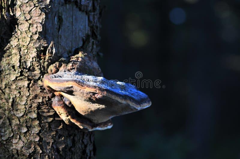 Polypore de champignon de parenthèse sur le tronc d'arbre image libre de droits