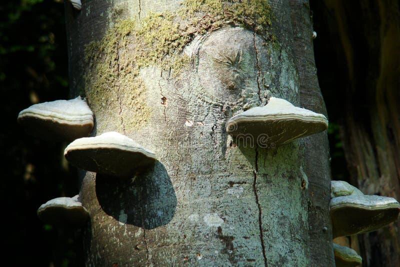 Polypore del hongo de la yesca o de la yesca fotos de archivo