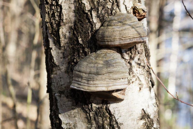 Polypore no tronco de árvore do vidoeiro imagem de stock royalty free