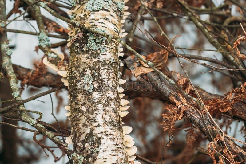 _ Polypore svamp på trädstammen i Autumn Rainy Day Konsolsvampar och deras Woody Fruiting Bodies Are Called royaltyfri bild