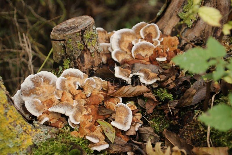 Polyporepaddestoel in schollenbos in het hol IJssel van Capelle aan in Nederland stock afbeelding