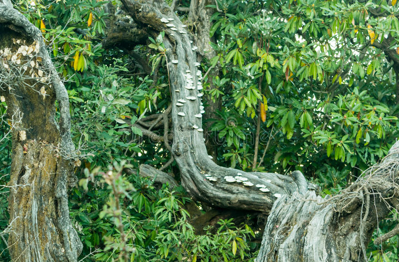 Polypores每小组真菌在喜马拉雅山山温带林里在Uttrakhand印度 免版税库存图片