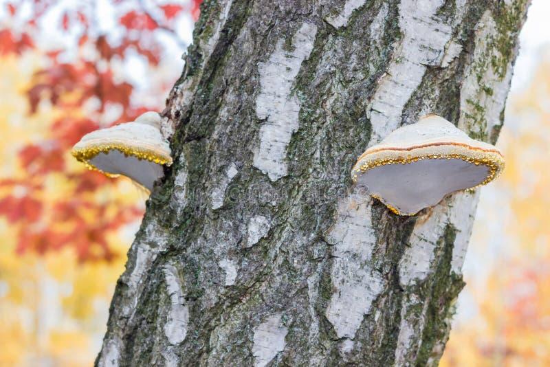 Polypores березы на конце-вверх дерева березы стоковые фото