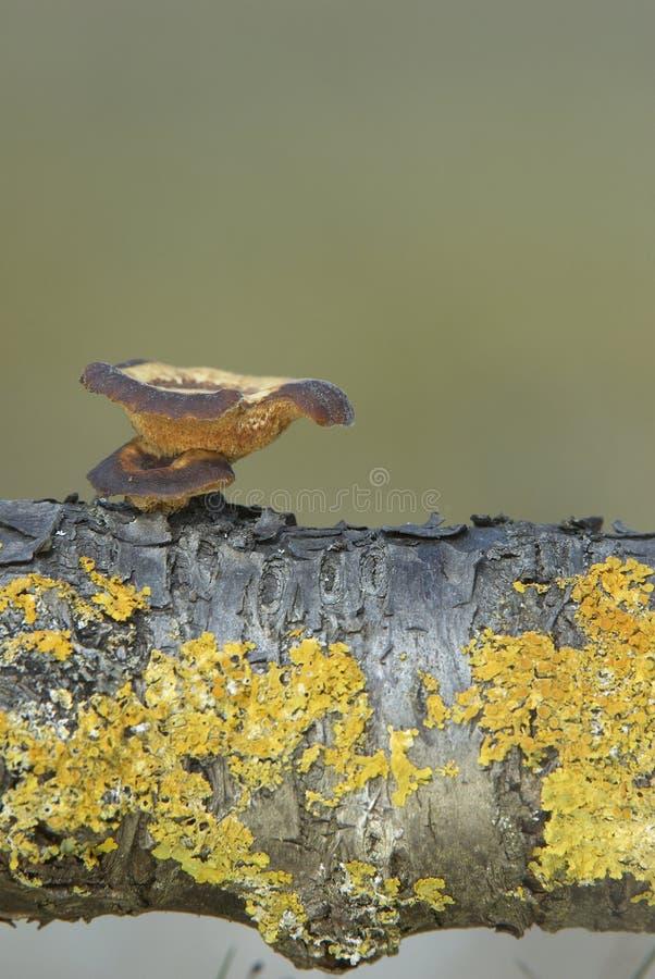 Polyporus brumalis stock photo