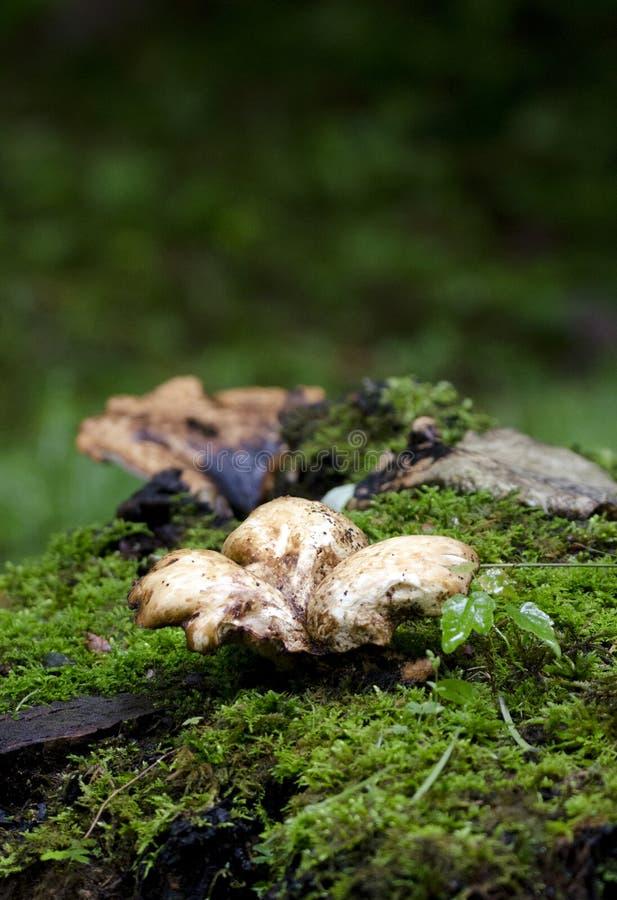Polyporussvampar plocka svamp på mossa i blåa Ridge Mountains royaltyfri fotografi