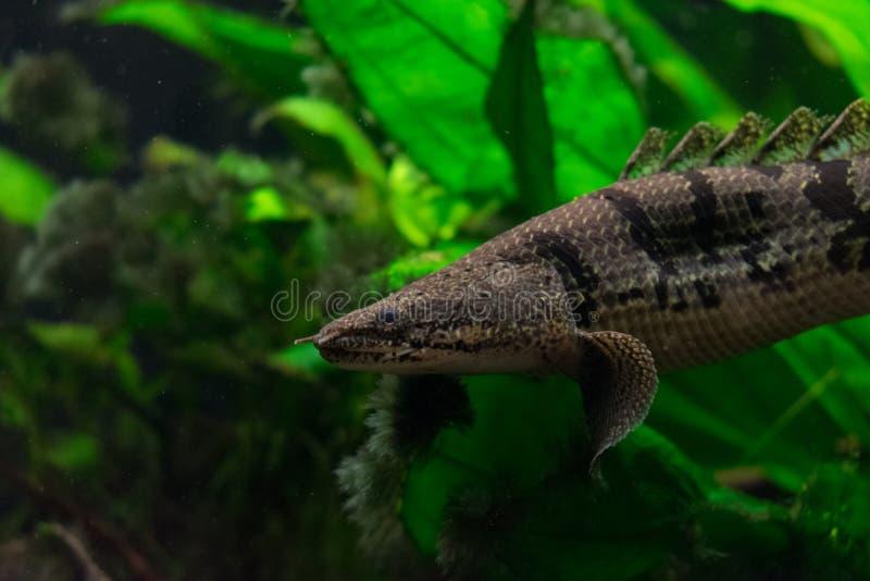 Polypterus delhezi禁止bichir,装甲的bichir 库存图片