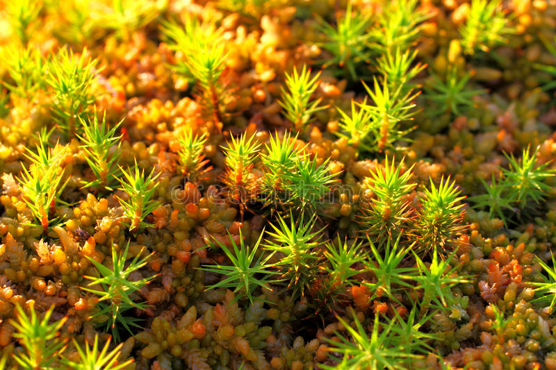 Polytrichum commune. A plant on a bog close up royalty free stock photography