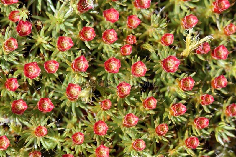 Polytrichum juniperinium, male stock photography