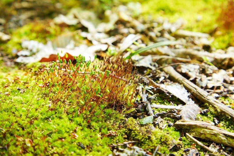 Polytrichum-juniperinum, allgemein bekannt als Wacholderbusch haircap oder Wacholderbusch polytrichum Moos lizenzfreie stockbilder