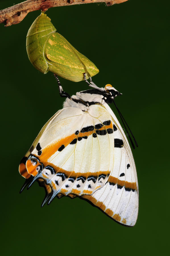 Polyura nepenthes /the butterfly drilled out of pupa just now royalty free stock photos