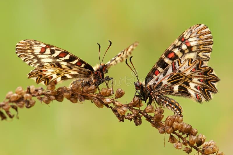 Polyxena de Zerynthia de la mariposa imagenes de archivo