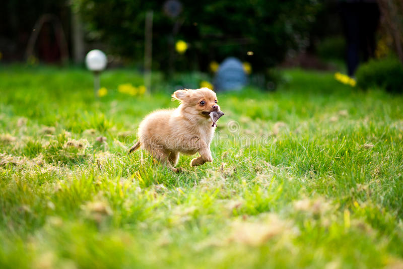 Pom-Chi dog puppy running through garden & x28;Pomeranian chihuahua& x29; royalty free stock photography