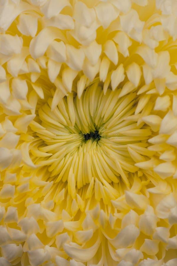 Pom-pom Chrysanthemenblume stockfoto