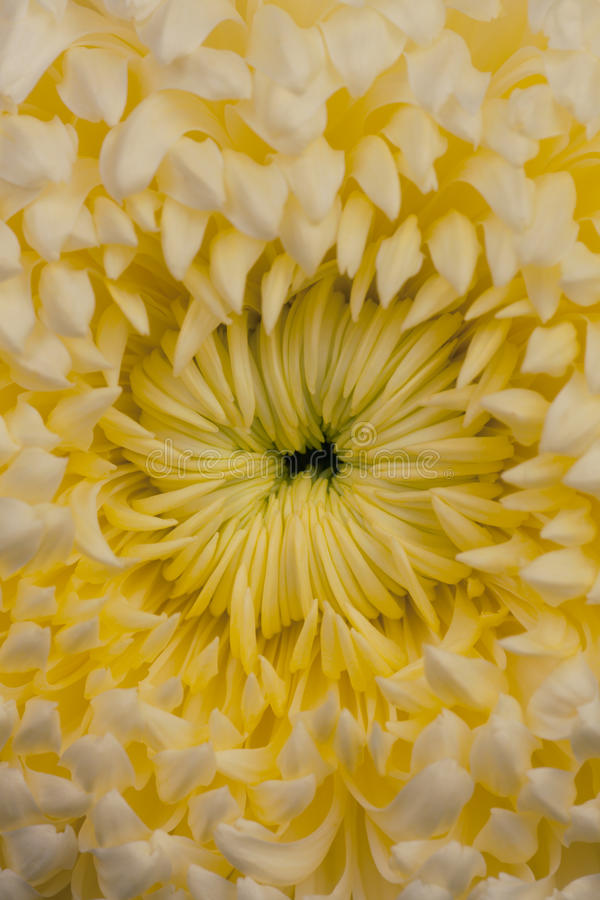 Pom pom chryzantemy kwiat zdjęcie stock