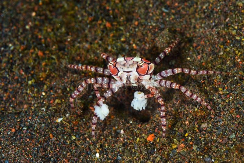 Pom-pom Krabbe stockbild