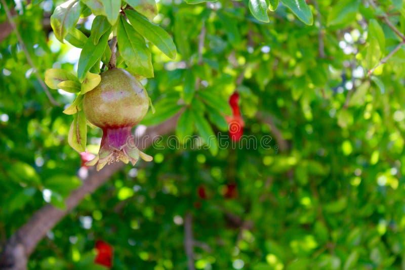 Pom Tree fotografia stock