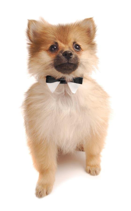 Amazing Pom Canine Adorable Dog - pom-tuxedo-7510335  Perfect Image Reference_738767  .jpg