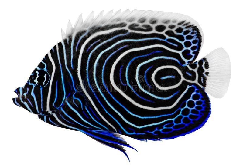 pomacanthus för havsängelkejsareimperator royaltyfria bilder