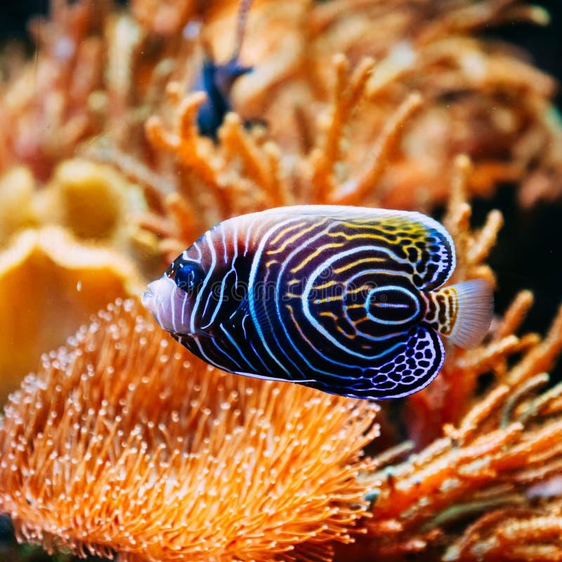 Pomacanthus navarchus蓝色天使海鱼 免版税图库摄影