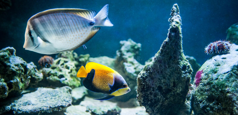 Pomacanthus navarchus, majestätischer Engelhai, Fischschwimmen in lizenzfreie stockfotos