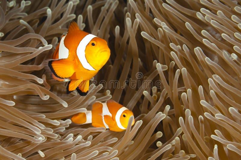 Pomacentridae, Clown-Fische oder Anemonefish lizenzfreies stockfoto