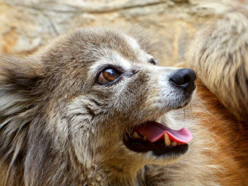Pomanerian hund royaltyfria foton