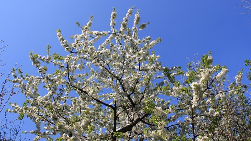 Pomar Cherry In Spring Time branco de florescência de florescência foto de stock