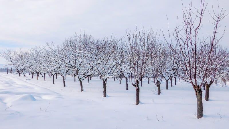 Pomar coberto com a neve no inverno fotos de stock