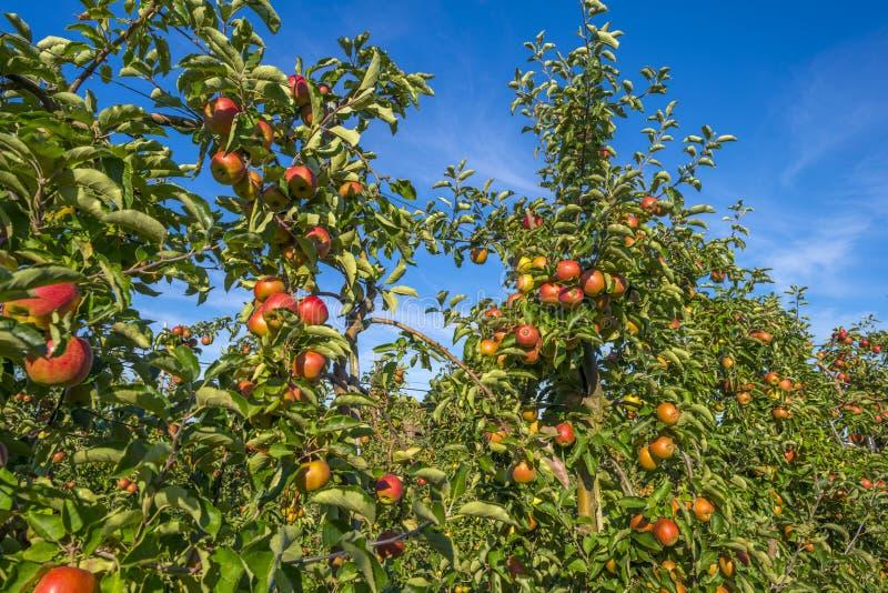 Pomar com árvores de maçã em um campo fotografia de stock