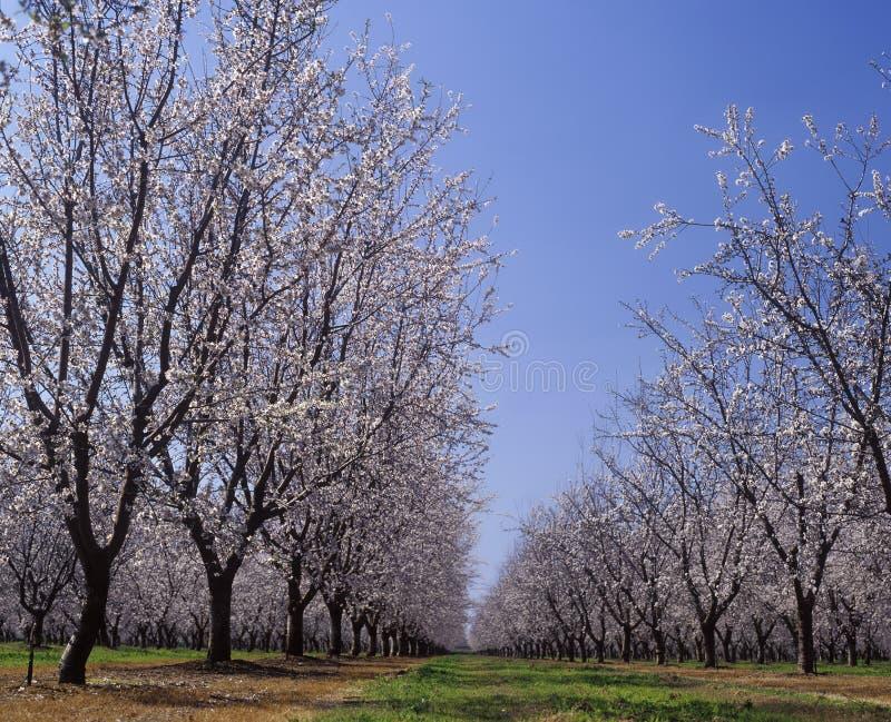 Pomar da amêndoa na flor LeGrand Merced County Califórnia imagem de stock royalty free