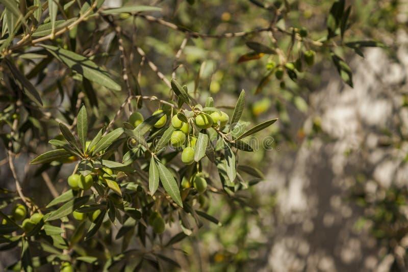 Pomar da oliveira imagem de stock