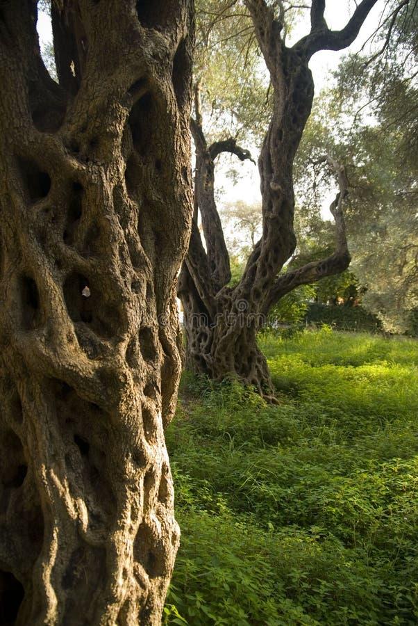 Pomar da oliveira imagens de stock royalty free