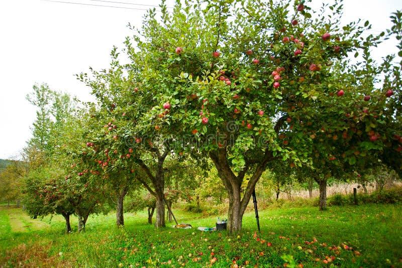 Pomar das árvores de Apple fotografia de stock