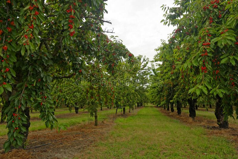 Pomar de árvores de cereja imagem de stock royalty free