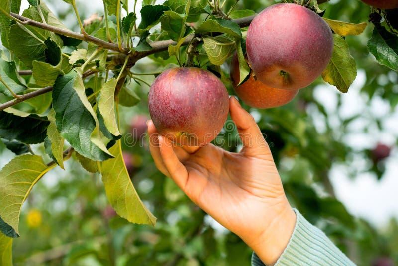 Pomar de Apple Autumn Time imagem de stock royalty free